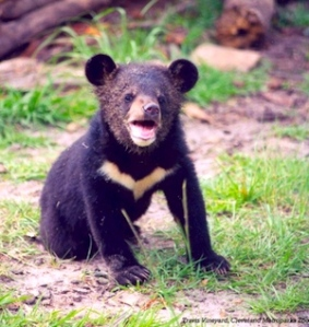 moon-bear-asiatic-black-bear-baby-cub